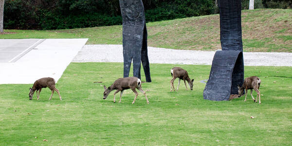 deer grazing in sculpture garden at hillside campus